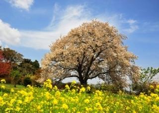 与市郎の桜.JPG